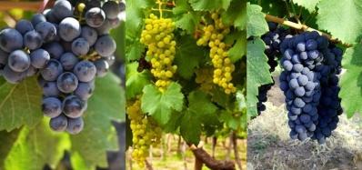 grapes argentina